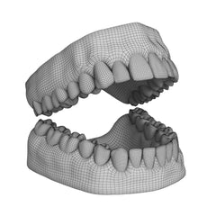 Human Teeth and Gums 3D Model