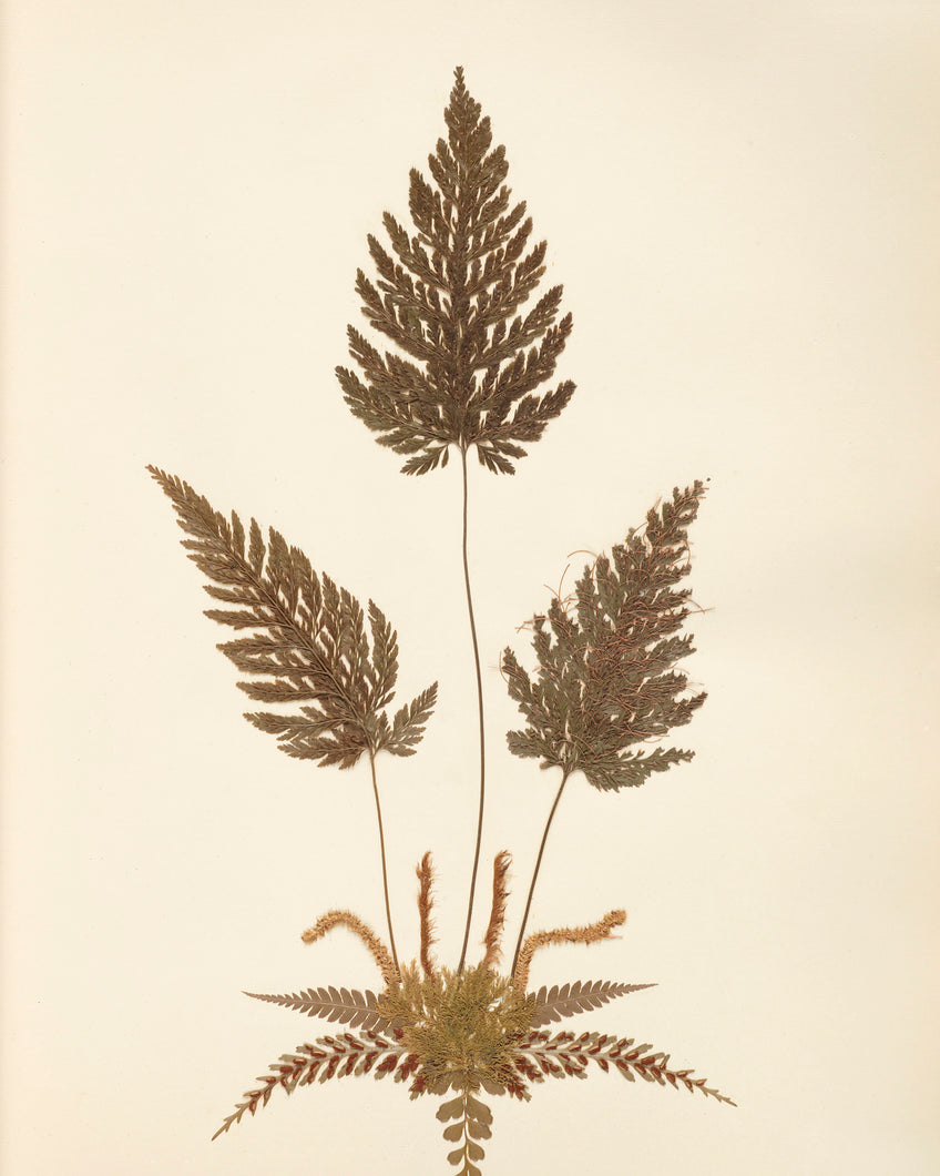 Another Pressed Fern