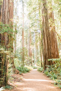 Redwoods Path