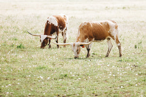 Two Longhorns