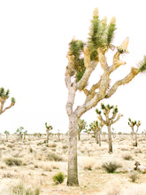 Joshua Tree Split Photo
