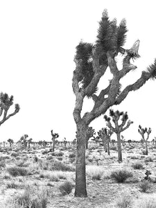 Joshua Tree Split Photo B&W