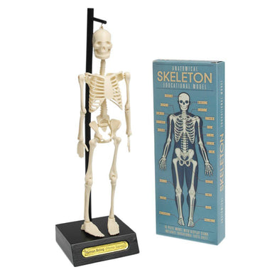 Anatomical Human Skeleton Model