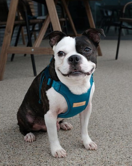 Comfort Dog Harness in Teal