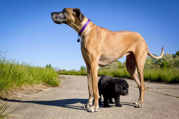 10 Largest Dog Breeds You Can Own