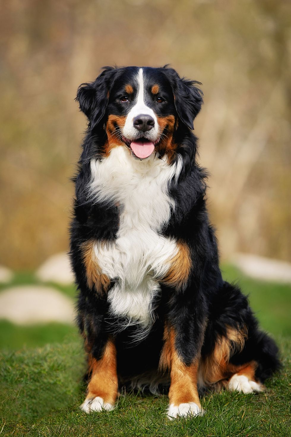 Best Large Dog Breeds ,extra large dogs for adoption,large dog breeds alphabetical,extra large dog breeds pictures,20 largest dog breeds,top 20 large dog breeds,extra large dog houses for outdoors,large dog breeds a z,list of large dog breeds