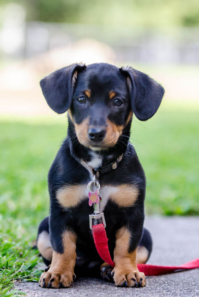 chiweenie temperament,chiweenie puppy for sale,chiweenie price,chiweenie names,chiweenie black,chiweenie and cats,chiweenie hypoallergenic,teacup chiweenie