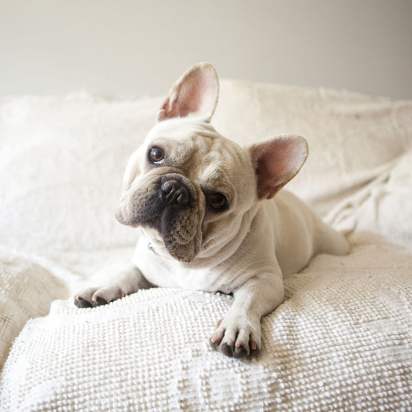French Bulldogs,french bulldog temperament,types of french bulldogs,french bulldogs as pets,french bulldog size,french bulldogs for sale near me,french bulldog facts,are french bulldogs smart,do french bulldogs shed