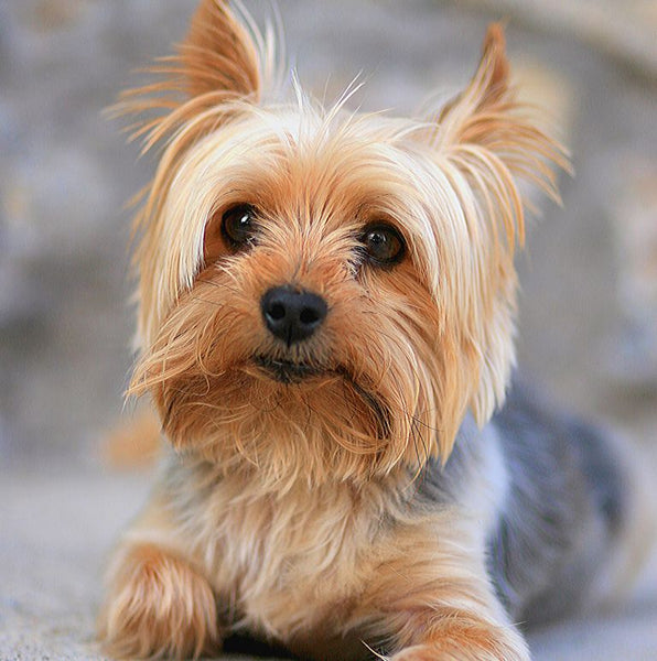 Yorkshire Terriers,yorkshire terrier temperament,yorkshire terrier for sale,yorkshire terrier puppy,yorkshire terrier price,do yorkshire terriers shed,yorkie for sale,famous yorkshire terriers,yorkshire terrier mix