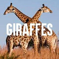 Giraffe Themed Animal Jewelry and Products