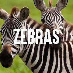 Zebra Themed Animal Jewelry and Products