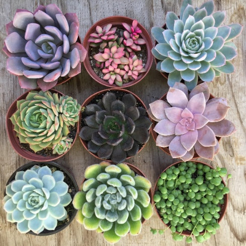 Succulent Care Tips