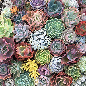 Large Succulents