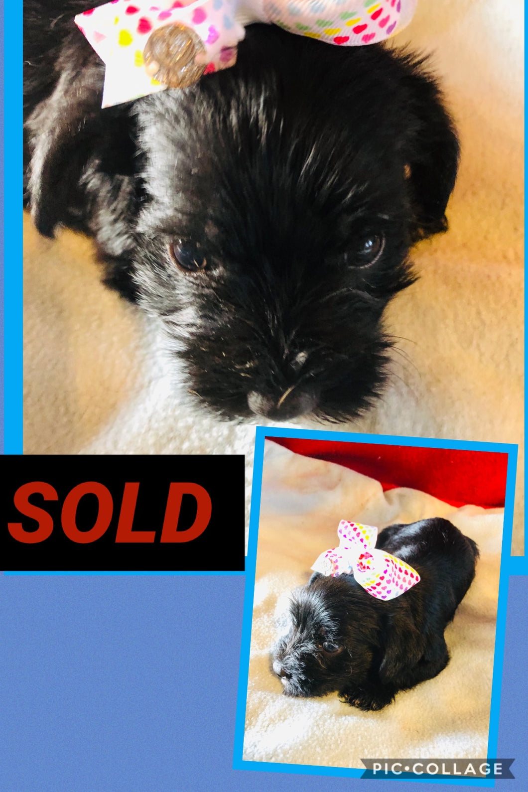 SOLD- Click On Picture For More Info- Deposit for Hybrid Schnauzer