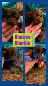 SOLD- Click On Picture For More Info- Deposit for Chewey