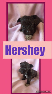 SOLD- Click On Picture For More Info- Deposit for Hershey