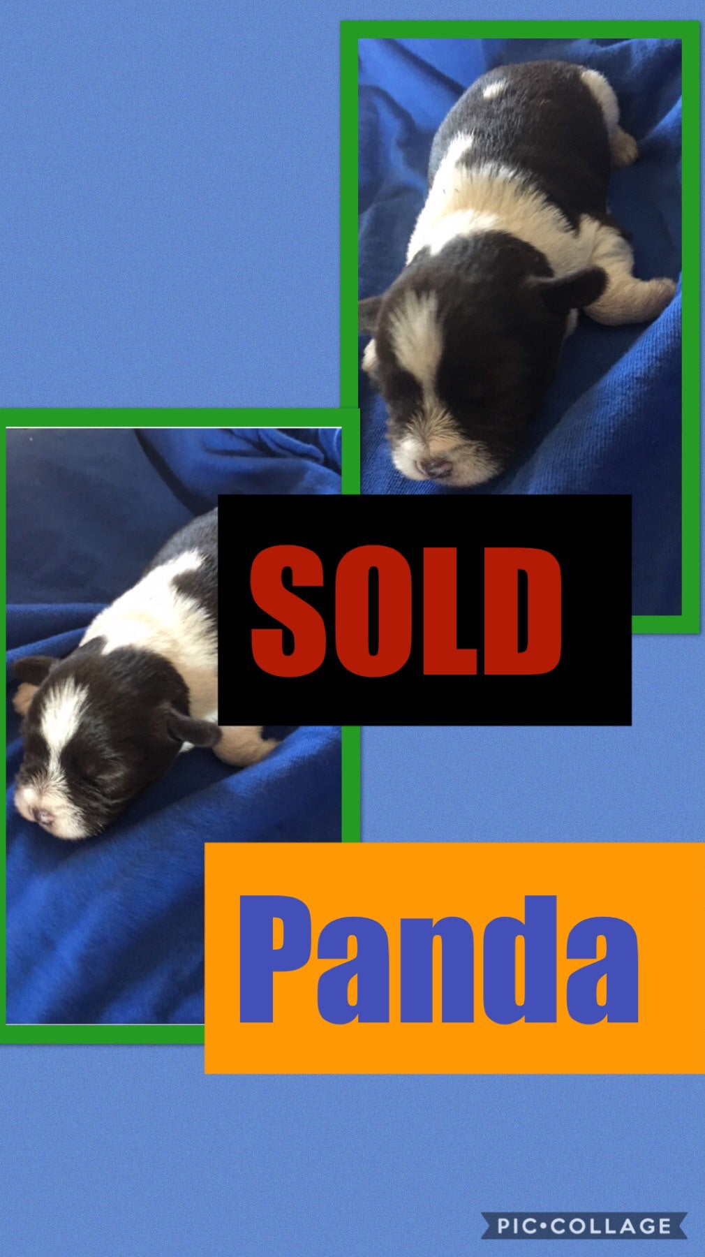 SOLD- Click On Picture For More Info- Deposit for Panda