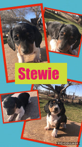 SOLD- Click On Picture For More Info- Deposit for Stewie