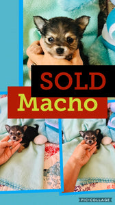 SOLD- Click On Picture For More Info- Deposit for Macho