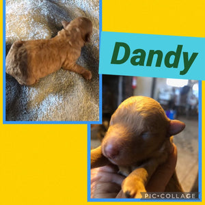 Click On Picture For More Info- Deposit for Dandy