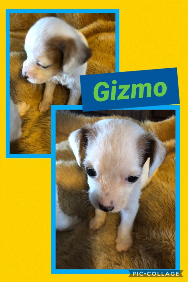 Click On Picture For More Info- Deposit for Gizmo