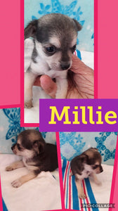 SOLD- Click On Picture For More Info- Deposit for Millie