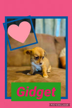 SOLD- Click On Picture For More Info- Deposit for Gidget