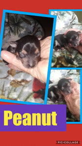 SOLD- Click On Picture For More Info- Deposit for Peanut