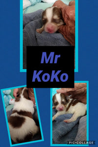 SOLD- Click On Picture For More Info- Deposit for Mr KoKo