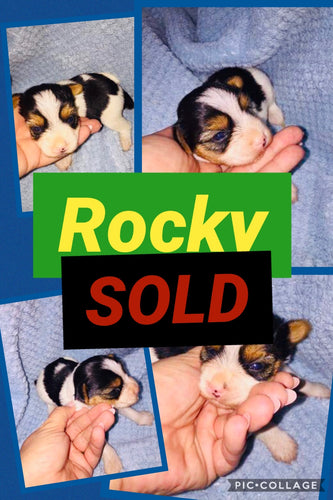 SOLD- Click On Picture For More Info- Deposit for Rocky