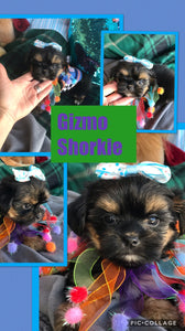 SOLD- Click On Picture For More Info- Deposit for Gizmo