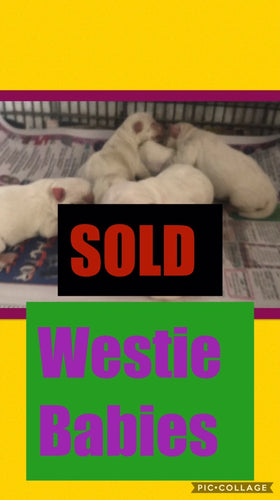 SOLD- Click On Picture For More Info- Deposit for Westie Babies