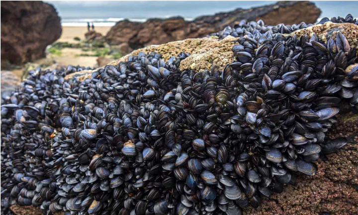 Mussels Lose Strength When Exposed to Microplastics!