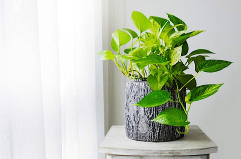 Golden Pothos | Zero Waste Living | Boomi