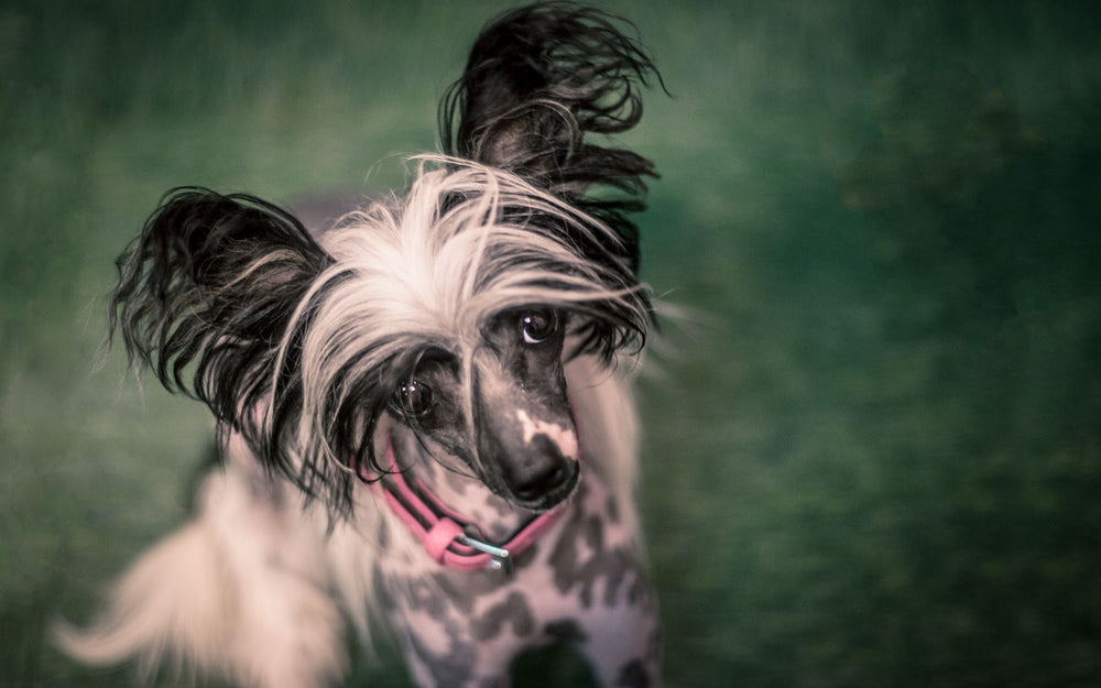 chinese crested photogrpahy