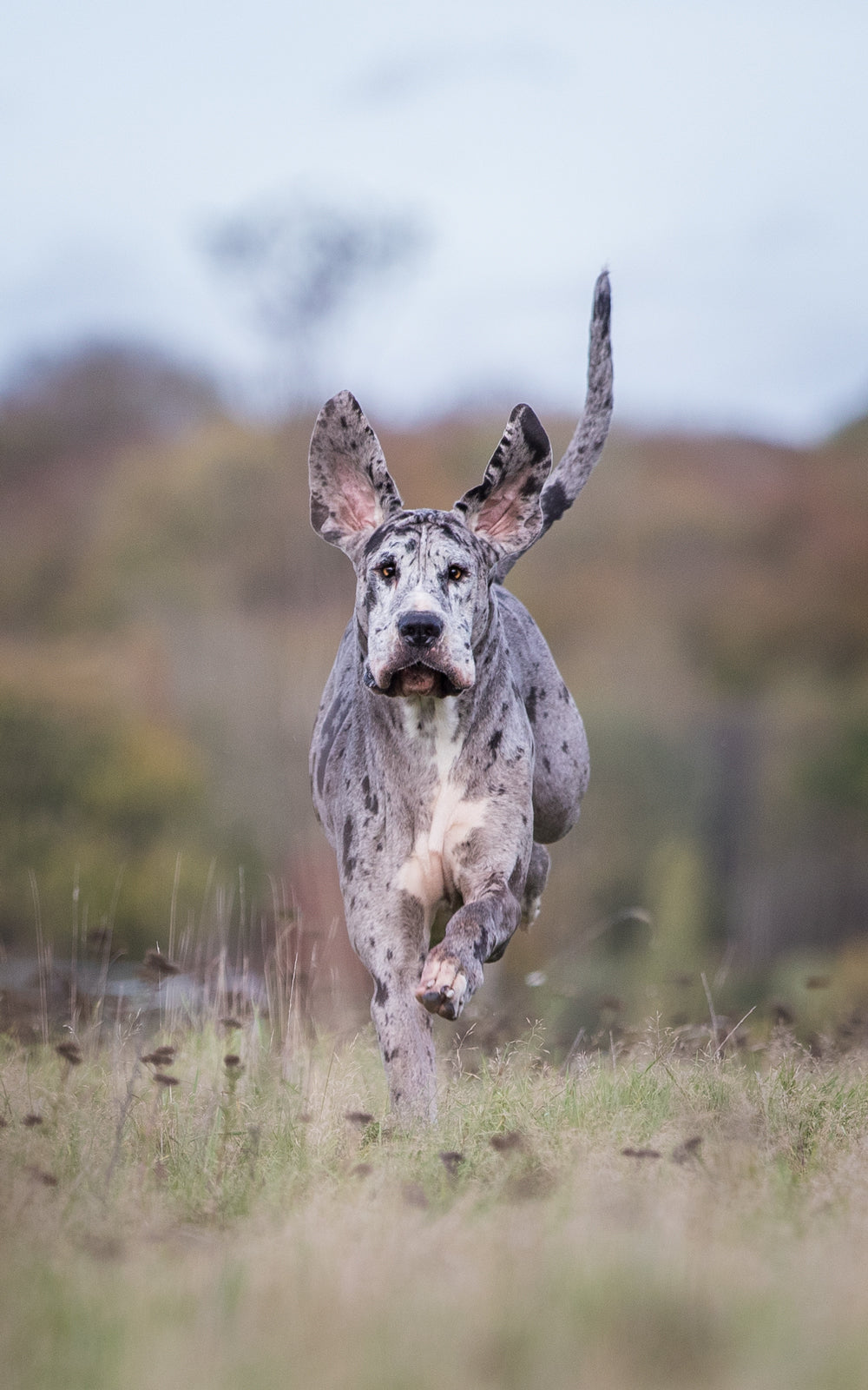 great dane photographer uk