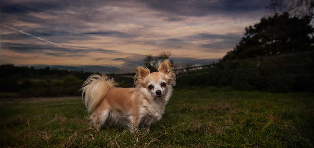 chelmsford dog photographer