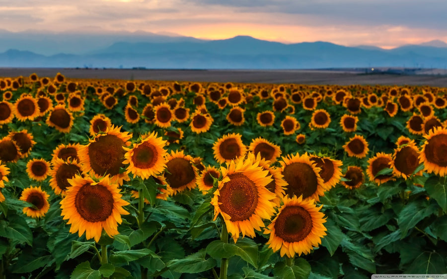 Sunflower Field