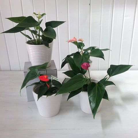 glossy mini anthurium in a ceramic pot