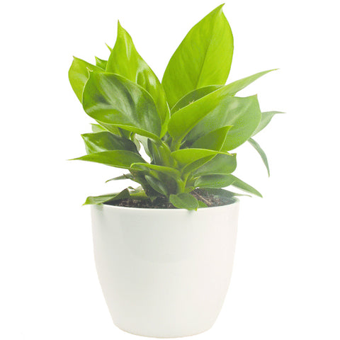 dana white matte ceramic pot