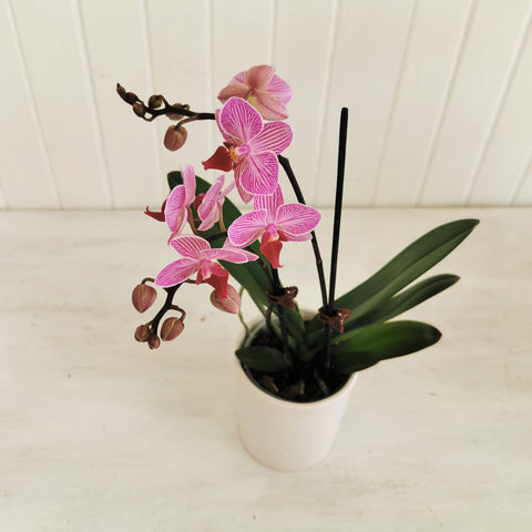 SOLD OUT flowering mini moth orchid
