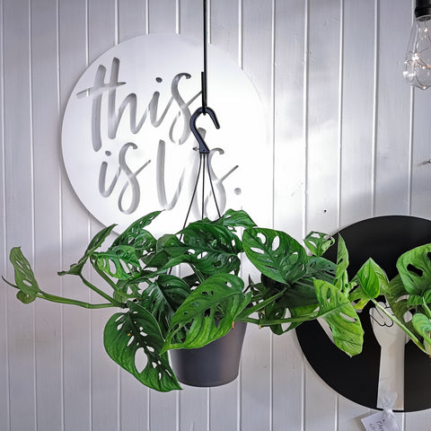 hanging monstera monkey mask plant