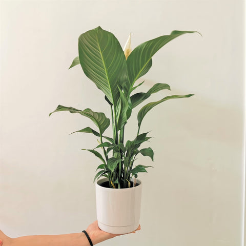 a wide range of indoor plants are available at bloom n loco in Wairoa.  Yes, we ship plants to you! Silvana peace lily. from Gellerts.