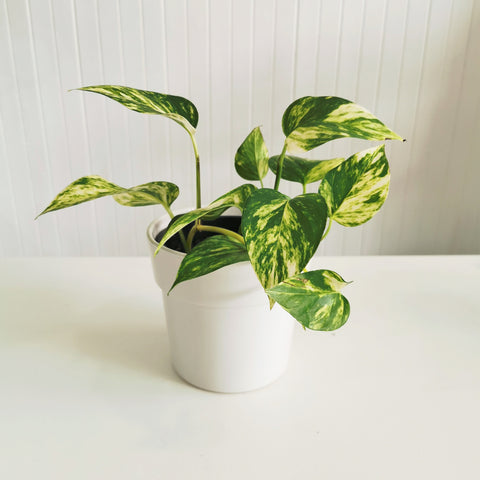 golden pothos bloomnloco