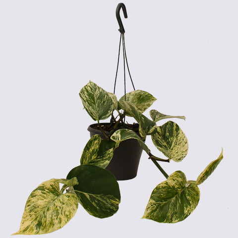 the hanging marble queen