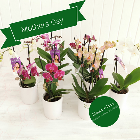 flowering mini moth orchid