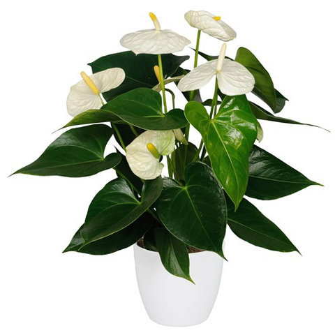 glossy anthurium plant in 14cm pot