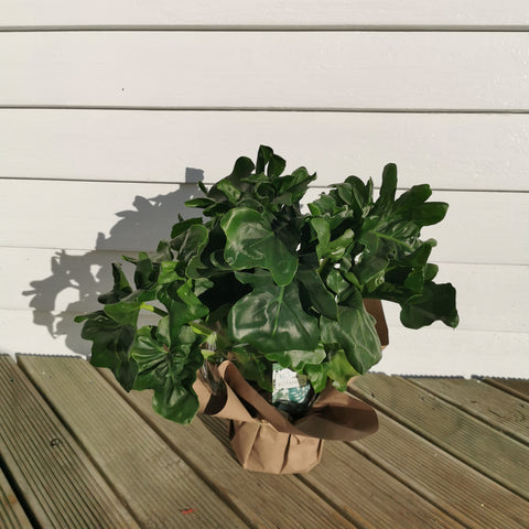 larger philodendron atom plant in 16cm pot