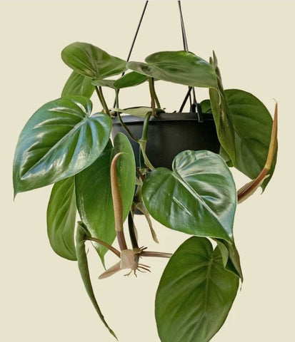 the hanging heartleaf philodendron