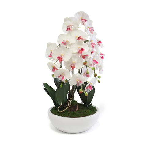 Phalaenopsis In Round White Pot - Wh/Red (M)